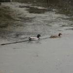 Enten im Wildwasserteich